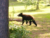 Mulberry Mountain Bear - Seen at close range (very close), Saturday, June 20, 2009 near the Lodge.